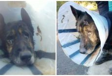 Limping Dog Wearing Cone Found Roaming In Woods 300 Miles From Home