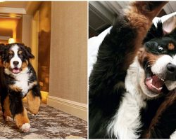 Loveable Bernese Mountain Dog Lives At Hotel And Cuddles Guests Every Chance He Gets