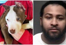 Vile Man Cut Off Puppy's Ears With Scissors & Superglued Them Back To His Head