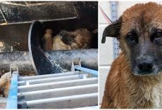 Stuck Deep Inside Meat Processing Pit, He Was Exhausted & Inches Away From Death