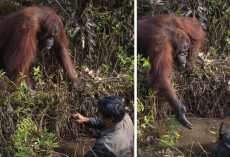 Wild Orangutan Extends Hand To Help Man Standing In Snake-Filled Waters