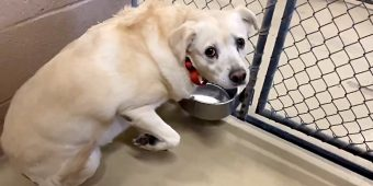 Terrified Lab Is Left Shaking In Her Kennel After Family Dumped Her At Shelter