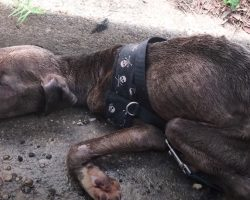 Abused Pit Pup Found In The Gutter Had Only Minutes To Live