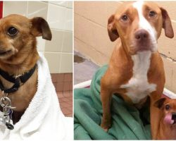 Staff Devastated That Adopters Want Young Pit Bull But Not Her Senior Mate