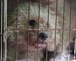 Poodles Locked In Cages 24/7, Their Eyes Expressed 'True Joy' When Doors Were Finally Opened