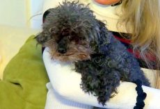16-Yr-Old Blind-Deaf Poodle Squeals Helplessly As Giant Hawk Scoops Her Away