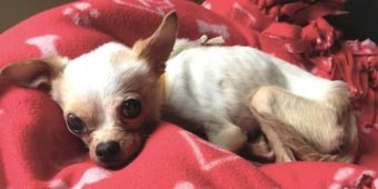Small Chihuahua Abandoned At The Shelter Was Too Weak To Sit Up On Her Own
