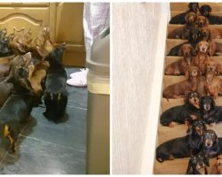Woman Bets Her Friend He Can't Get 16 Dachshunds To Sit Pretty On Stairs