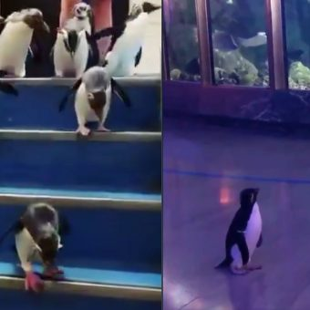 After Having To Close Down, Aquariums Are Allowing Their Penguins To Roam