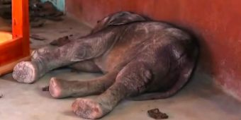 A Baby Elephant Took To A Classroom After Being Attacked By Spears & Stones