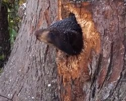 She Heard Crying Through The Night, And It Led Her To Bear Cubs Stuck In A Tree