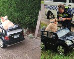 Senior Dog Has Run-In With Police For Cruising Around In His Little Car