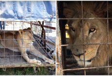 Trainers Threaten & Beat Animals With Iron Clubs So They'll Perform In Circus