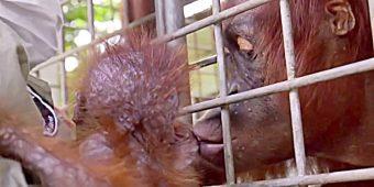 Workers Break Down In Tears As Mama Orangutan Reunites With Her Kidnapped Baby