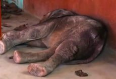 Elephant Calf Found On A Classroom Floor After Being Abused By Stones & Spears
