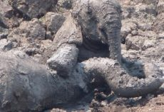 Mama Elephant Was Sinking Into The Mud With Her Baby When They Intervened