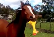 Horse Breaks Out His Rubber Chicken Toy To Annoy His Owner
