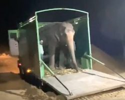 After 46 Years Of Captive Abuse, Blind Elephant Steps Off Truck To Freedom