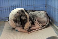 Decaying Dog's Tail Still Wagged, Even When He Didn't Have Strength To Get Up