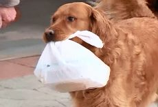 Golden Delivers Groceries To Elderly Neighbor Who's Stuck In Quarantine