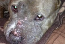 Dog Found Covered In Scars Trusted No One After Being Forced To Fight In Life