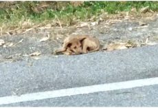 Wounded Stray Too Frail To Forage For Food, Laid Down On Roadside & Gave Up