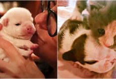 "Premature Kitten ""Adopts"" Sick Bulldog Puppies And Transformed Them"