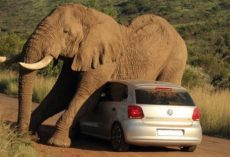 Tourists Are Taking In The View When A Bull Elephant Singles Out Their Car