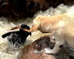 Dog Gets Swept Away While Playing Fetch, Panics & Begs The Other Dog For Help
