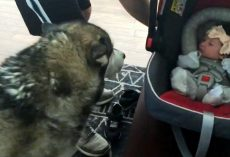 Dog Sees Newborn Baby For First Time And Plunges His Mouth Into The Baby Carrier