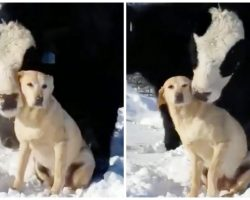 Labrador Retriever Gets Slathered In Cow Kisses By Bovine Best Friend