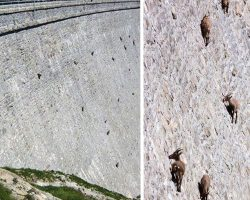 The Death-Defying Goats Of Gran Paradiso National Park In Italy