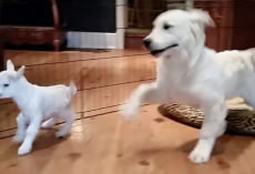 "Golden Retriever Puppy Completely ""Lost It"" When He Met A Baby Goat"