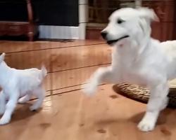"Golden Retriever Puppy Completely ""Lost It"" When He Met A Baby Goat"