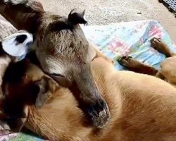 Dog Who Adopted Abandoned Baby Giraffe Devastated After Giraffe's Sudden Death