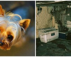 Woman Banishes Severely Injured Yorkie To Basement With No Food Or Water