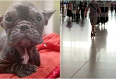 "Lil Dog Pulled From Meat Truck, Waited At The Airport For Her ""Human Angel"""