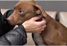 Rescued Pit Bull Looked To Rescuer As Her Hero, As Her Tragic Past Melted Away