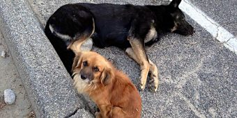 Dog Stays By Pregnant Friend's Side, Waiting For Help After She Was Hit By Car
