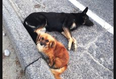 Loyal Dog Refuses To Leave Pregnant Friend's Side After She Was Hit By A Car