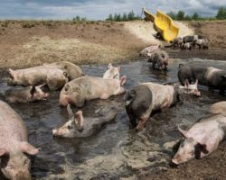 Dutch Farmer Gives His Pigs A Water Slide So They Can Hit The Mud In Style
