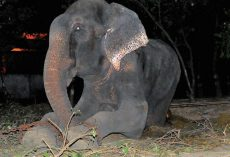 After Being Chained For 50 Years, Elephant Sheds Tears During Midnight Rescue