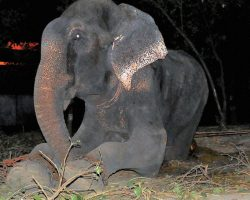 Elephant Chained And Abused For 50 Years Cries During Midnight Rescue