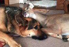 Dog Takes To An Orphaned Fawn, Catches On As Fawn Surrogate