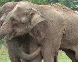 After 50 Years In Captivity, Elephant Is Freed For An Intimate Reunion