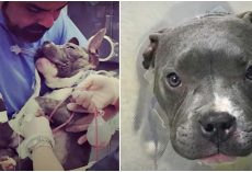 Unwanted Pit Pup Fights For His Life & Is Winning Thanks To Tenacity And Prayer