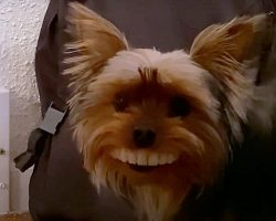 Yorkie Steals Dad's Fake Teeth Off Table, Struts Around Flashing Toothy Grin