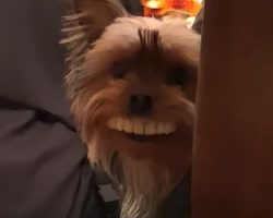 Dad Leaves Fake Teeth On The Table, Dog Steals Them And Proudly Smiles