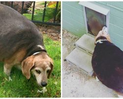 90-Pound Beagle Unable To Fit Through Doggy Door Winds Up At Shelter
