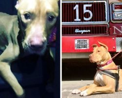 """Dog Abused & Left To Die In Crack House Gets Second Chance As A """"Firehouse Pup"""""""